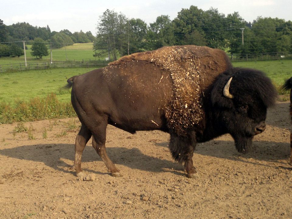 American Buffalo: Summary, Anaylsis, Theme, Characters, Setting- David Mamet